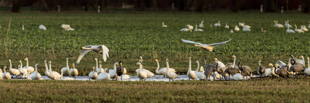 Whooper swans, Cygnus cygnus, and cranes, Grus grus, in winter on a field in Mecklenburg-Vorpommern, Germany Stock Photo - 122190392