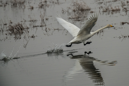 Whooper swan, Cygnus cygnus, starting in winter, Lower Oder Valley National Park, Brandenburg, Germany Stock Photo - 122190394