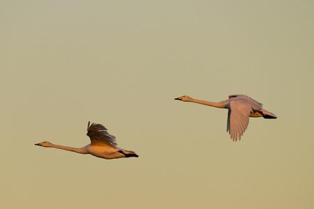 flying whooper swans, Cygnus cygnus, in the evening light, winter, Schleswig-Holstein, Germany Stock Photo - 122190396