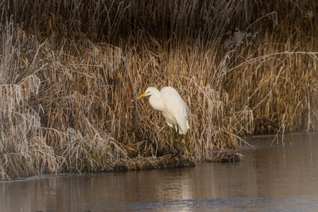 Great Egret, Ardea alba, on the shore in reeds in winter with hoarfrost in germany