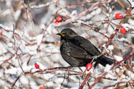 Common blackbird, Turdus merula,  with red berries of blueberry,Sorbus aucuparia, rowan,  in its beak on a tree  in a park in winter Stock Photo - 122190406