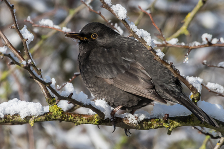 Common blackbird, Turdus merula,  with red berries of blueberry,Sorbus aucuparia, rowan,  in its beak on a tree  in a park in winter Stock Photo - 122190410