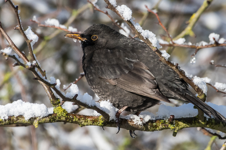 Common blackbird, Turdus merula,  with red berries of blueberry,Sorbus aucuparia, rowan,  in its beak on a tree  in a park in winter