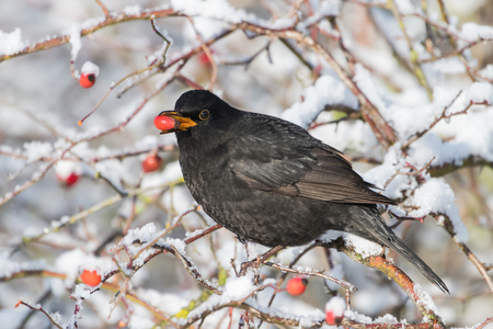 Common blackbird, Turdus merula,  with red berries of blueberry,Sorbus aucuparia, rowan,  in its beak on a tree  in a park in winter Stock Photo - 122190552