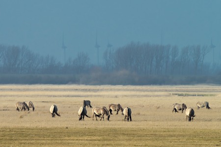 Herd of conik horses on a pasture in winter in Schleswig-Holstein, Germany