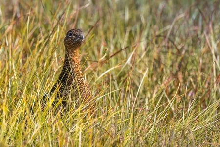 red grouse, Lagopus lagopus scoticus, in natural environment Scottish Highlands, Scotland, United Kingdom, Europe