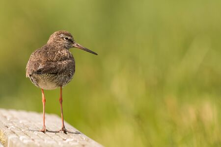 sitting redshank in the salt marshes of the North Sea, Germany Фото со стока