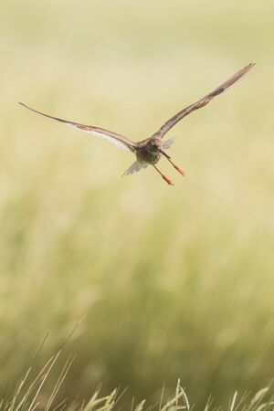 flying redshank in the salt marshes of the North Sea, Germany Фото со стока