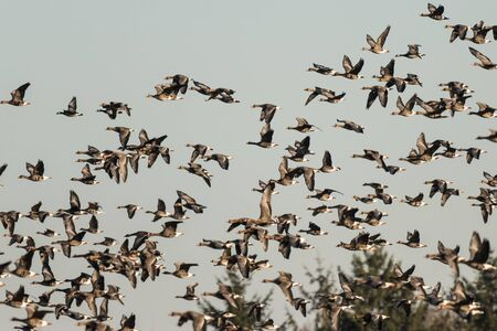 Flock of White-fronted Geese, Anser albifrons, flying in Schleswig Holstein, Germany, Europe