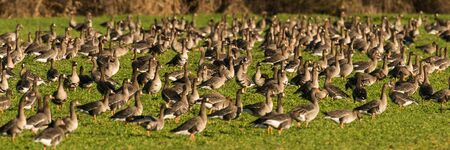 Flock of White-fronted Geese, Anser albifrons, on meadow in winter, Lueneburg Heath, Lower Saxony, Germany, Europe