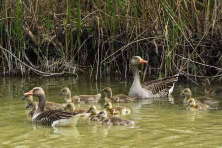 parent greylag geese out with their young goslings