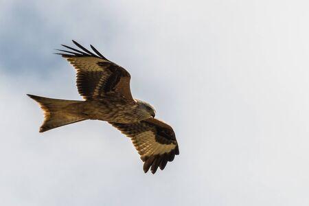 Red kite, Milvus milvus in flight Фото со стока