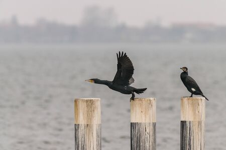Pair of cormorants on pegs in a harbor in germany