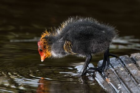 Coot, Fulica atra, chicks on the canal, Ostfriesland, Lower Saxony Germany