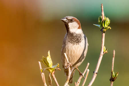 Male house sparrow sitting on a branch