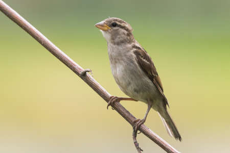 Female house sparrow sits on a branch Stock Photo