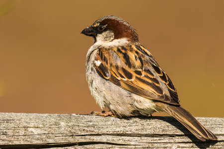Male house sparrow sits on a branch Stock Photo