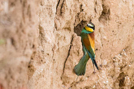 The European bee-eater sits on a branch Stock Photo