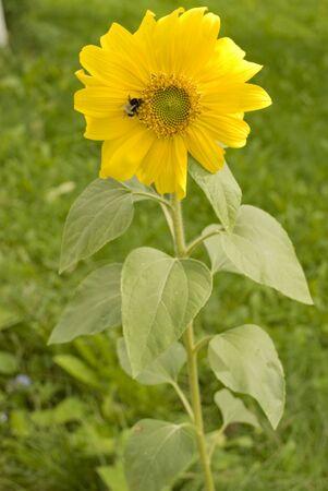 Beautiful yellow Sunflower petals closeup. Helianthus annuus