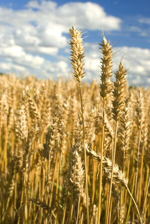 Golden wheat field with blue sky in background. Stock Photo