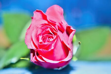 Petals of red roses in amazing color surrounded our garden. Stock Photo