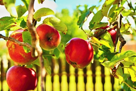 Red apples in the garden. Stock Photo