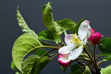 Flower of apple with drops of water. Symbol of spring arrival.