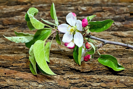 Flower of apple with drops of water. Symbol of spring arrival. Apple tree branch with oak tree flower. Stock Photo
