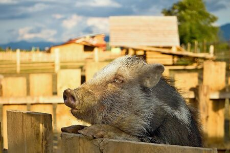 The wild pig is climbing on the fence. Animal fence in contact ZOO. Stock Photo