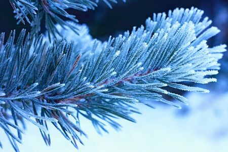 Winter theme: pine twig with frozen.
