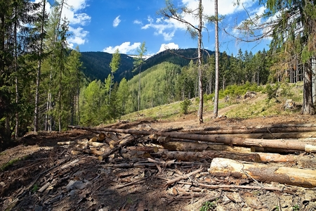 Forest calamity caused by affected trees by pests.