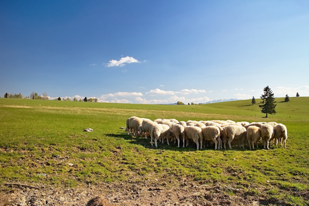 Typical surroundings of Slovak sheep farm with sheeps, meadow for grazing and beautiful nature. Imagens