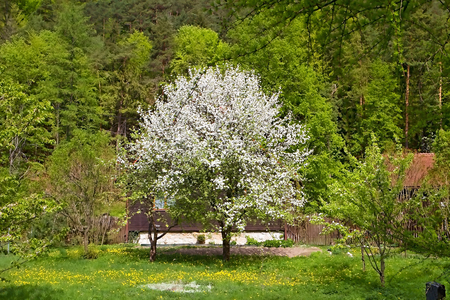 A blossoming tree amidst a pine forest in the Gader Valley in the Great Fatra Mountains.