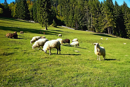Multiple sheep are grazed on a green meadow near Cutkovska valley in Slovakia.