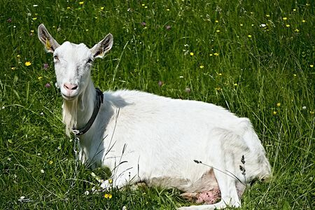Lying goat on fresh pasture in Cutkovska valley.