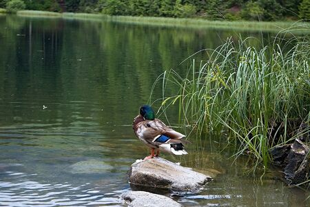 The wild duck stay peacefully on the rock and waits patiently for its opportunity to catch a fish.