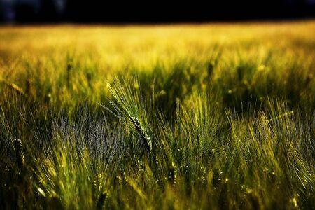 grain fields: wheatfield Stock Photo