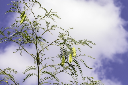 Wild pea pods growing on a bush with a view of a blue sky and clouds