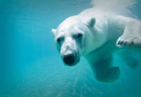 Polar bear swimming underwater at the zoo Stock Photo