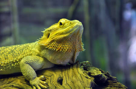 bearded dragon lizard: Bearded dragon sitting on a piece of driftwood