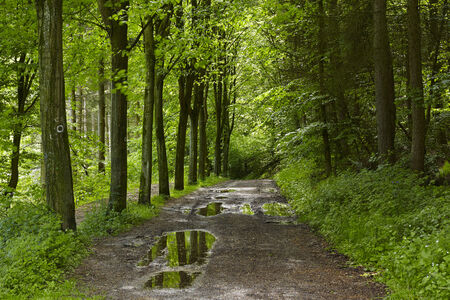 oxygene: A forest path after a rainshower with some puddles into a broadleaf forest taken at bright sunshine.