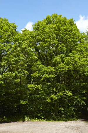oxygene: Tree crowns of broadleaf trees at a forest edge taken at bright sunshine and a blue sky with white clouds. Stock Photo