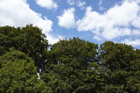 cottonwool: Dark green treetops of broadlead trees taken against a blue sky with white fleecy clouds.
