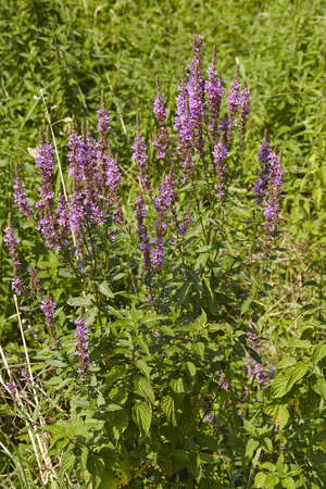 asterids: A small shrub of summer lilac is blossoming at the edge of a humid biotope.