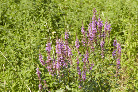 lamiales: A small shrub of summer lilac is blossoming at the edge of a humid biotope.
