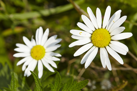 asterids: Two yellow and white blossoms of daisies (Bellis perennis) on green grass.