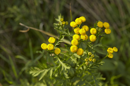 asterids: The yellow blossom of a Tansy (Tanacetumvulgare) with many little single blooms.