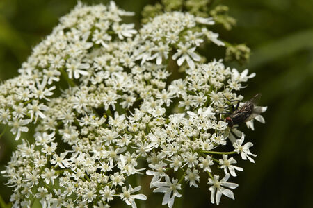 mortale: Il fiore di un Hemlock Deadly (Conium maculatum) preso come un colpo di macro.