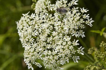 hemlock: La flor de una Hemlock Mortal (Conium maculatum) se toma como un tiro macro.