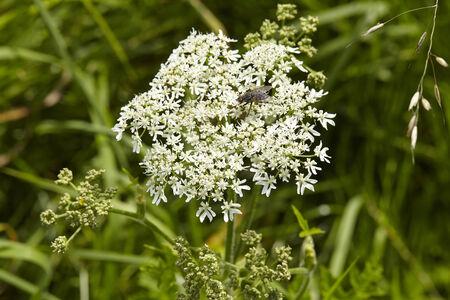hemlock: La flor de un Hemlock Deadly (Conium maculatum) ejecutado con un tiro macro.